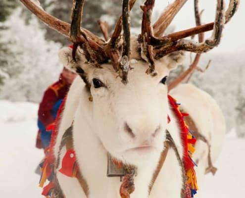 lola akinmade åkerström white reindeer 1605 SÁMI CULTURE EXPERIENCE