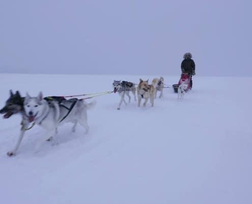 Husky tocht in Zweden