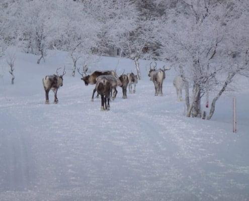 Rendieren in de winter in Finland