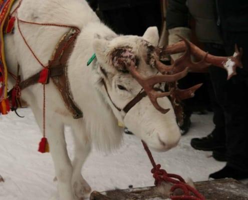 Wit rendier op de Sami jaarmarkt in Jokkmokk